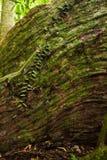 Корни дерева подстенка в тропическом лесе Стоковые Изображения RF