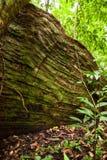 Корни дерева подстенка в тропическом лесе Стоковое Изображение RF