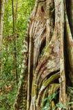 Корни дерева подстенка в тропическом лесе Стоковое Изображение