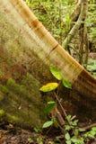 Корни дерева подстенка в тропическом лесе Стоковое фото RF