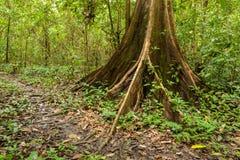 Корни дерева подстенка в тропическом лесе Стоковые Фото
