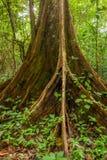 Корни дерева подстенка в тропическом лесе Стоковое Фото