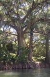 Корни дерева реки Стоковые Изображения