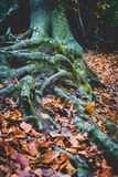 Корни дерева смешали совместно в сезоне падения над землей Стоковые Изображения RF