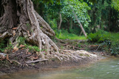 Корни дерева Стоковое Изображение