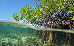 Корни деревьев мангровы над и под воду стоковое фото rf