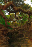 корни деревьев на скале Стоковое Изображение