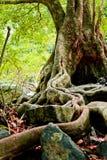 Корни деревьев расположены на камне Стоковая Фотография RF