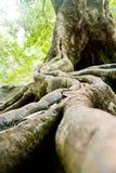 Корни деревьев расположены на камне Стоковые Изображения
