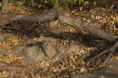 Корни деревьев Стоковая Фотография