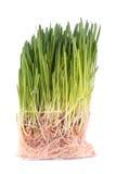 корни зеленого цвета травы пускали ростии Стоковые Фотографии RF