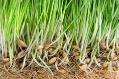 корни зеленого цвета травы стоковое фото rf
