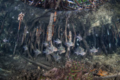 Корни и рыбы мангровы Стоковые Фотографии RF