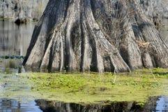 корни кипариса Стоковые Изображения
