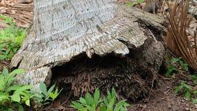 корни кокоса Стоковая Фотография