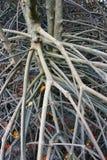 Корни мангровы Стоковое Изображение RF
