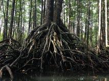 Корни мангровы Стоковая Фотография