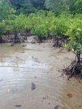 Корни мангровы Стоковое фото RF