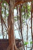 Корни на кирпичной стене - душители большой смертной казни через повешение воздушные - над почвой Стоковое фото RF