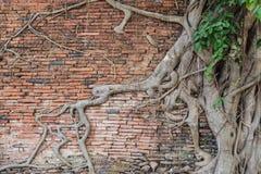 Корни на древней стене Стоковые Изображения RF