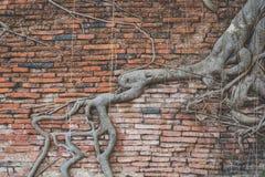 Корни на древней стене Стоковое Изображение RF