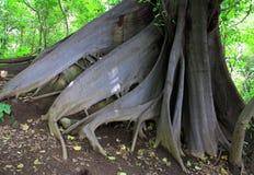 Корни подстенка смоквы душителя Стоковое Фото