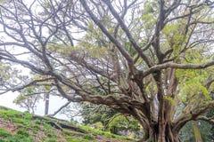Корни подстенка смоковницы залива Moreton Стоковая Фотография
