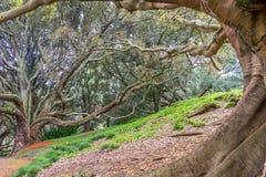 Корни подстенка смоковницы залива Moreton Стоковые Фотографии RF