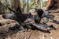 Корни секвой сгорели национальный парк секвойи секвой стоковая фотография rf