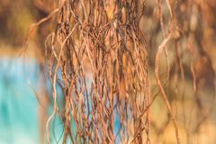 Корни старого дерева дерева с воздушными корнями Стоковое фото RF