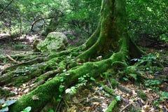 Корни старого дерева Стоковые Изображения RF
