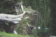 Корни упаденного дерева Стоковые Изображения