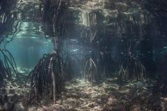 Корни упорки мангровы Стоковые Фотографии RF
