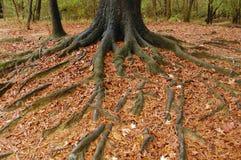 корни Стоковая Фотография RF