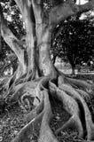 корни Стоковые Изображения RF