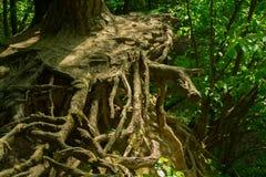 корни Стоковое Изображение