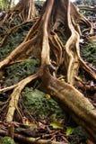 корни Стоковые Фото