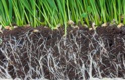 корни Стоковые Фотографии RF