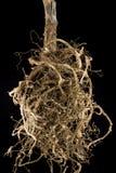 корни Стоковая Фотография