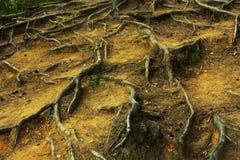 корни Стоковые Изображения