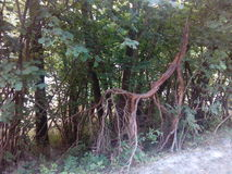 корни Стоковое Фото