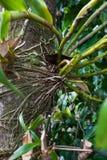Корни formosum Dendrobium, орхидные, к югу от Таиланда Стоковые Изображения RF