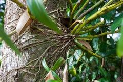 Корни formosum Dendrobium, орхидные, к югу от Таиланда Стоковые Фотографии RF