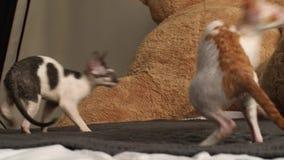 Корнуольская игра кота Rex разведенными видеоматериал