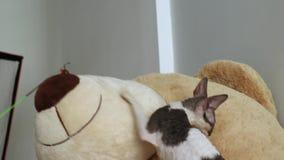 Корнуольская игра кота Rex разведенными сток-видео