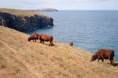Корнуольские коровы стоковые фото