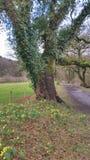 Корнуольские одичалые Daffodils cornwall Великобритания стоковые фотографии rf
