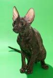 Корнуоллский язык Rex кота Брайна Стоковое фото RF