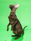 Корнуоллский язык Rex кота Брайна Стоковое Фото