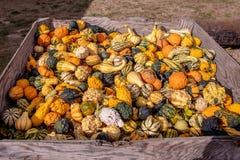 Коробка вполне меньшего сквоша апельсина, белых, и зеленых на рынке фермеров стоковое изображение
